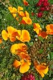 De papavers van Californië (Eschscholzia-californica) in bloei Royalty-vrije Stock Afbeeldingen