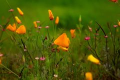 De Papavers van Californië in het midden van andere mooie Wildflowers in Aard Royalty-vrije Stock Afbeeldingen