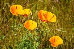De Papavers van Californië wildflower in een weide royalty-vrije stock fotografie