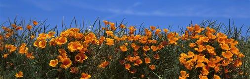 De papavers van Californië Stock Foto's
