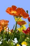 De papavers van de lente Stock Afbeeldingen