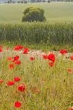 De papavers van Wiltshire Royalty-vrije Stock Afbeeldingen
