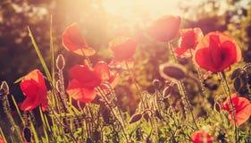De papaversbloemen op gebied in stralenzon op de zonsondergang sluiten omhoog Stock Foto's