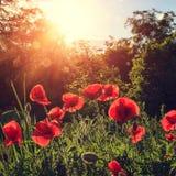 De papaversbloemen op gebied in stralenzon op de zonsondergang sluiten omhoog r Stock Fotografie