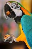 De papegaai eet noot Stock Afbeeldingen