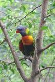 De Papegaai Lori van de regenboog op een Tak van het Regenwoud Royalty-vrije Stock Afbeeldingen