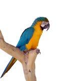 De papegaai op een tak Stock Afbeeldingen