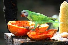 De papegaai (torquata Psittacus) Stock Fotografie