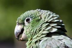 De papegaai van Amazonië stock afbeelding