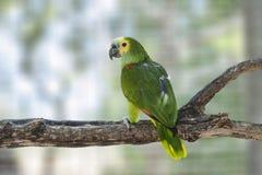 De Papegaai van Amazonië Stock Foto