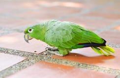 De papegaai van Amazonië ter plaatse Royalty-vrije Stock Afbeeldingen