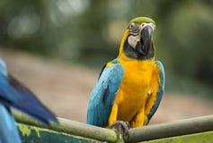 de papegaai van ara zit en eet op de toppositie stock foto