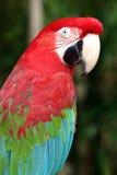De papegaai van aronskelken Stock Foto