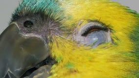 De papegaai van babyamazonië stock videobeelden