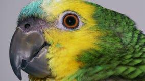 De papegaai van babyamazonië stock video