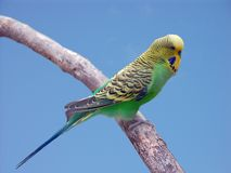 De papegaai van Budgie stock fotografie