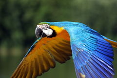 De papegaai van de ara tijdens de vlucht Stock Afbeeldingen