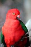 De papegaai van de koning Stock Foto