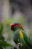 De papegaai van de muskus Stock Fotografie