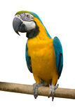 De papegaai van de vogel Stock Fotografie