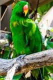 De Papegaai van Eclectus Stock Afbeeldingen