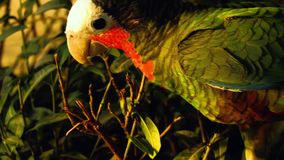 De papegaai van de Fischeridwergpapegaai stock footage