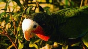 De papegaai van de Fischeridwergpapegaai stock video