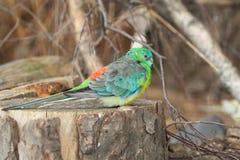 De papegaai van het gras Royalty-vrije Stock Foto