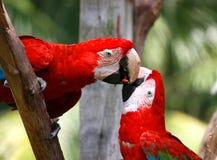 De papegaai van het paar Royalty-vrije Stock Afbeeldingen