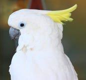 De papegaai van Kakadu royalty-vrije stock afbeelding