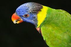 De papegaai van Lorikeet Royalty-vrije Stock Afbeelding