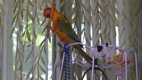 De papegaai zit en speelt met een potlood stock footage