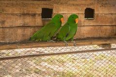 De papegaaien of psittacines zijn vogels in het meest tropisch worden gevonden die royalty-vrije stock afbeeldingen