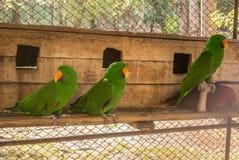 De papegaaien of psittacines zijn vogels in het meest tropisch worden gevonden die stock foto's