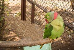 De papegaaien of psittacines zijn vogels in het meest tropisch worden gevonden die stock afbeelding