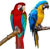 De Papegaaien van aronskelken Stock Fotografie