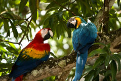 De papegaaien van de ara stock afbeelding