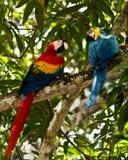 De papegaaien van de ara Stock Foto's