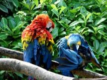 De papegaaien van het paar Stock Afbeelding