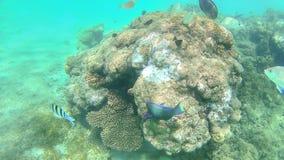 De papegaaivissen, toppositie, karper zwemmen rond het heldere kleurrijke koraal r royalty-vrije stock foto