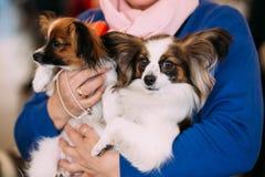 De Papillon-hond riep ook het Continentale Stuk speelgoed Stock Fotografie