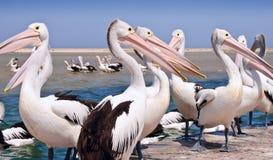 De parade van de pelikaan Stock Foto