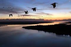 De Parade van de pelikaan Stock Afbeelding