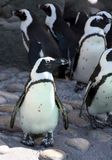 De Parade van de pinguïn Royalty-vrije Stock Foto's