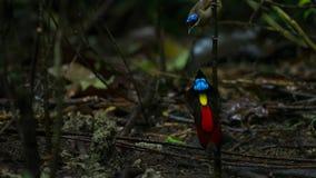 De paradijsvogel die van Wilson een wijfje concurreren aan te trekken door in de mistroostigheid van de bosvloer te dansen stock fotografie