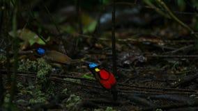 De paradijsvogel die van Wilson een wijfje concurreren aan te trekken door in de mistroostigheid van de bosvloer te dansen stock foto's