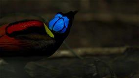 De paradijsvogel die van Wilson een wijfje concurreren aan te trekken door in de mistroostigheid van de bosvloer te dansen royalty-vrije stock fotografie