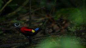De paradijsvogel die van Wilson een wijfje concurreren aan te trekken door in de mistroostigheid van de bosvloer te dansen royalty-vrije stock foto's