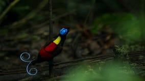 De paradijsvogel die van Wilson een wijfje concurreren aan te trekken door in de mistroostigheid van de bosvloer te dansen royalty-vrije stock afbeeldingen