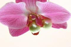 De Parels van de orchidee   Stock Afbeelding